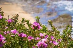 Abschied Clarkia Rubicunda zum Frühling, der auf der Küstenlinie des Pazifischen Ozeans blüht Stockbild