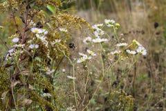 Abschiedsblüte der Herbstwiese, Russland Lizenzfreie Stockfotografie
