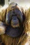 Abschluss Bornean Orangutam oben des Gesichtes Stockfotos