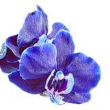 Abschluss der blauen Orchidee herauf die Niederlassungsblume, lokalisiert auf weißem Hintergrund Lizenzfreie Stockfotos