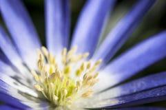 Abschluss der blauen und weißen Blume oben Stockfotografie