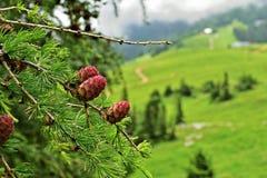 Abschluss der europäischen Lärche oben bei Schneeberg, Österreich Lizenzfreie Stockfotos