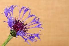 Abschluss der Kornblume (Centaurea cyanus) oben gegen den beige Hintergrund Lizenzfreie Stockfotos