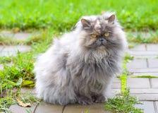 Abschluss der persischen Katze oben Lizenzfreies Stockfoto