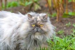 Abschluss der persischen Katze oben Lizenzfreie Stockfotos