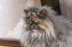 Abschluss der persischen Katze oben Lizenzfreie Stockbilder