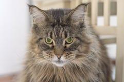 Abschluss der persischen Katze oben Stockfotografie