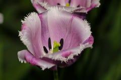 Abschluss der purpurroten und weißen Blume oben Lizenzfreie Stockfotos