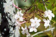 Abschluss der purpurroten und weißen Blume oben Lizenzfreies Stockbild
