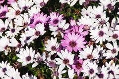 Abschluss der purpurroten und weißen Blume oben Lizenzfreies Stockfoto