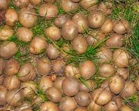 Abschluss der rohen Kartoffel oben Stockfotos