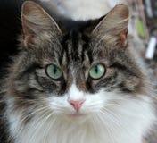 Abschluss der weißen und schwarzen Katze oben Lizenzfreies Stockbild