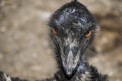 Abschluss des Emukopfes oben stockfoto