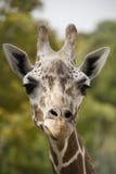 Abschluss des Giraffekopfes oben Stockbild