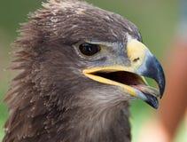 Abschluss des goldenen Adlers oben Lizenzfreie Stockfotografie