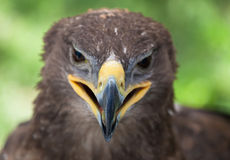 Abschluss des goldenen Adlers oben Stockfotografie