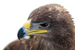 Abschluss des goldenen Adlers oben Lizenzfreie Stockbilder