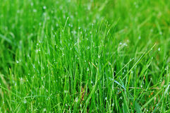 Abschluss des grünen Grases Makrooben Stockfoto