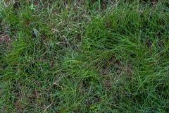 Abschluss des grünen Grases oben Stockfoto