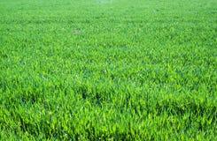 Abschluss des grünen Grases oben Feld des grünen Grases gegen einen blauen Himmel mit wispy weißen Wolken Lizenzfreie Stockfotografie