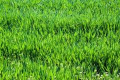 Abschluss des grünen Grases oben Feld des grünen Grases gegen einen blauen Himmel mit wispy weißen Wolken Stockfoto