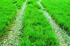 Abschluss des grünen Grases oben Feld des grünen Grases gegen einen blauen Himmel mit wispy weißen Wolken Stockbild