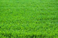 Abschluss des grünen Grases oben Feld des grünen Grases gegen einen blauen Himmel mit wispy weißen Wolken Stockfotos