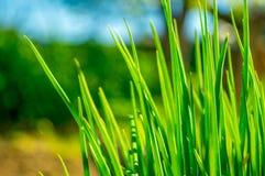 Abschluss des grünen Grases oben im Garten Stockfotos