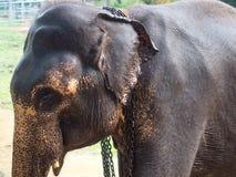 Abschluss des indischen Elefanten herauf Porträt Stockbilder