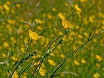 Abschluss des niedrigen Winkels oben der hellen gelben Butterblume blüht - Ranunculus bulbosus Stockfotos