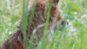 Abschluss des roten Fuchses oben stock video