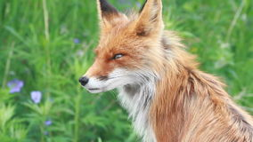 Abschluss des roten Fuchses oben stock footage