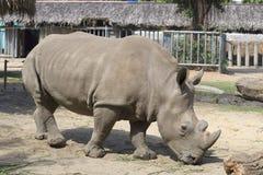 Abschluss des weißen Nashorns oben vietnam Lizenzfreie Stockbilder