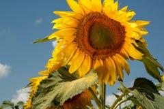 Abschluss einer Sonnenblume mit einer Biene, die Nektar erfasst Stockbilder