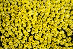 Abschluss-entfernter Sonnenblumenkern Stockfoto