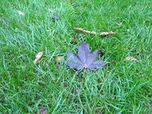Abschluss herauf überwucherten Rasen des gesunden Golfs mit purpurroten Herbstblättern stockbild
