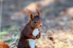 Abschluss herauf das Eichhörnchen, das in einem Naturpark sitzt lizenzfreies stockbild