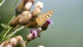 Abschluss herauf den sch?nen Schmetterling, der Nektar von einer Distel-Blume sammelt stock video