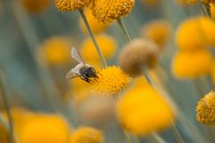 Abschluss herauf die gelbe Blume, die mit Unsch?rfehintergrund bl?ht stockbild