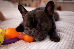 Abschluss herauf die gestreifte französische Bulldogge, die mit seinen Spielwaren auf dem Bett spielt lizenzfreies stockfoto
