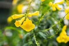 Abschluss herauf gelbes Trompeteblumenblumenblatt oder Tecoma-stans auf verwischt lizenzfreie stockbilder