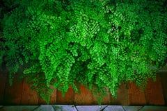 Abschluss herauf grüne Blätter schwarzen Maidenhair-Farns verlässt (Adiantum Stockbild