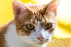 Abschluss herauf grüne gemusterte Katze stockfotografie