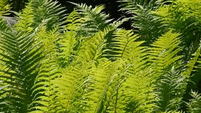 Abschluss herauf grünen Farn verlässt im Wind stock video
