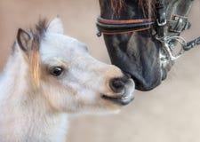 Abschluss herauf großes andalusisches Pferd des Porträts und Miniaturpferd lizenzfreie stockfotografie