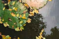 Abschluss herauf großes Lotosblatt mit gelbem Fall verlässt auf ruhigem Wasser r stockbilder