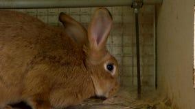 Abschluss herauf nettes braunes Kaninchen im Käfig stock video