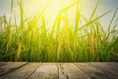 Abschluss herauf Ohr des Reises im Reis fängt alten braunen Bretterboden neben grünem Reisfeld im Abend- und Strahlnsonnenunterga Stockfoto