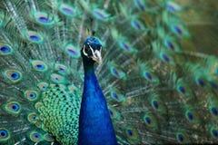 Abschluss herauf Pfau mit schönem Endstück verbreitete am Hintergrund Stockfotos
