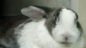 Abschluss herauf Porträt des alten Kaninchenrestes und -nase ist Gesamtlänge der Geige 4k stock footage